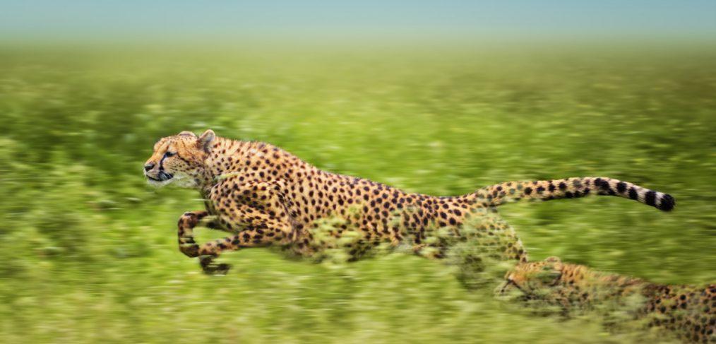 Grace. Running Cheetahs.